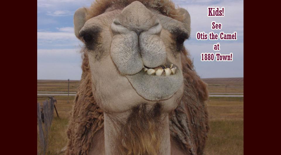 Otis the Camel at 1880 Town
